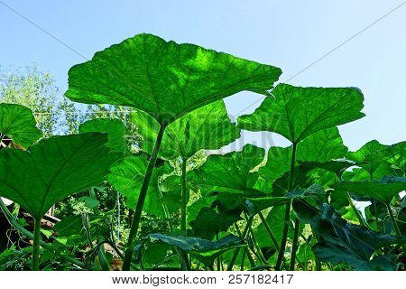 Large Green Leaves Of A Plant Against A Blue Sky