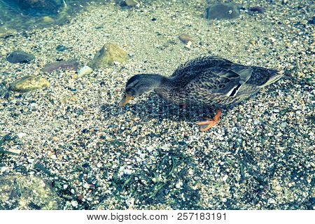 Duck In Water, Gardasee, Feather, Summer, Lake