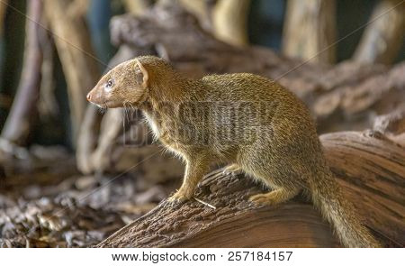 Sideways Shot Of A Mongoose In Woody Ambiance