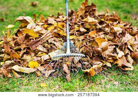 Pile Of Fallen Leafs With A Rake Tool For Removal