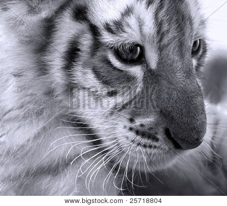 Face close-up of baby bengal tiger poster