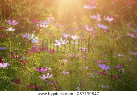 Background From Tender Soft Pink Beautiful Flowers In Green Grass, Floral Sunny Natural Vintage Hips