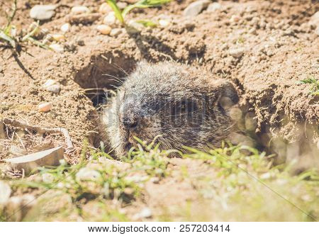 Young Groundhog (marmota Monax) Peering Out Of Hidey Hole