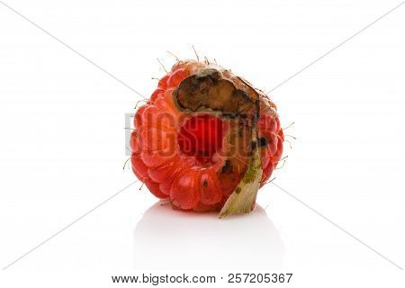 Rotten Raspberry With Mold Cutout On White Background. Uneatable Unhealthy Fruit.