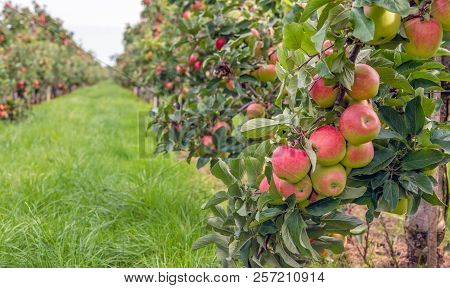 Espaliered Fruit Trees With Harvest Ripe Red Apples In A Dutch Apple Orchard At The End Of The Summe