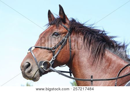 Unknown Contestant Rides At Dressage Horse Event In Riding Ground Outdoor. Headshot Close Up Of A Dr