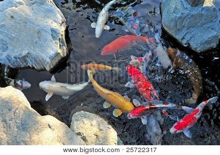 colorful koi fish in pond