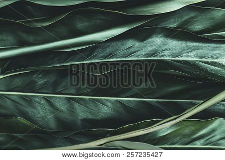 Green Galangal Leaves Background Of The Tropical Plants Which Has Jungle Dark Green Foliage. Texture