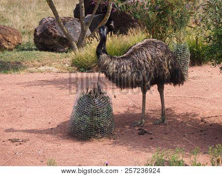 Photography Of An Emu (scientific Name: Dromaius Novaehollandiae)