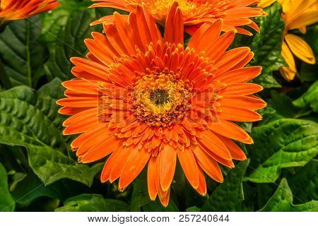 Orange Transvaal Daisy Gerbera Jamesoni Asterceae Flower Perrenial