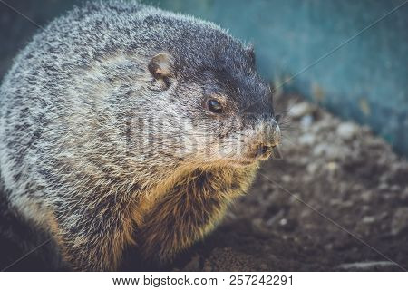 Young Groundhog (marmota Monax) Closeup In Vintage Setting