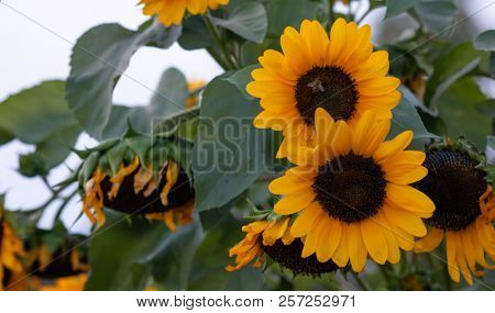 Yellow sunflowers, helianthus in the middle of a meadow with a bee on it. Close up view, blur background.