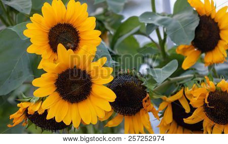 Yellow sunflowers, helianthus in the middle of a meadow with a bee on it. Close up view, blur nature background.