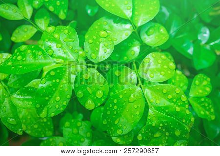 Top View Of Water Droplets On Green Leaves After Rain, Drops On Leaf In Raining Day. The Design Conc