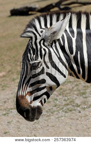 Portrait Profile Of African Striped Coat Zebra. Photography Of Nature And Wildlife.
