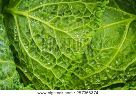 Fresh Green Leaves Of A Savoy Cabbage With Glistening Water Droplets Ready For Use As A Salad Ingred