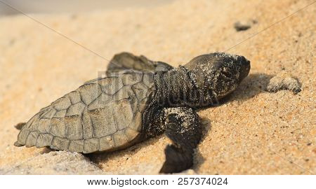 Pacific Ridley Turtle Hatchling Crawling Across Beach Sand.