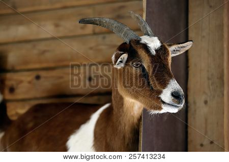 Portrait Of Female African Pygmy Goat On The Farm. Photography Of Nature And Wildlife.