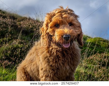 Red Cockapoo Puppy