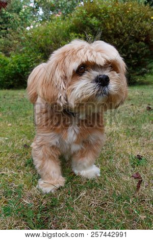 Red Lhasa Apso Dog In A Garden In Brittany