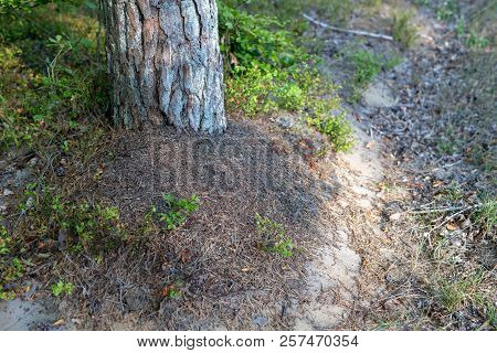 A Small Anthill In The Deciduous Forest. A Mound In Which Ants Live.