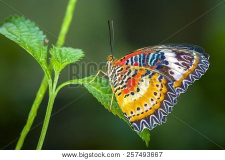 Monarch Butterfly On A Leaf In The Forest.beautiful Butterfly Sitting On Green Leaves. Tropical Inse