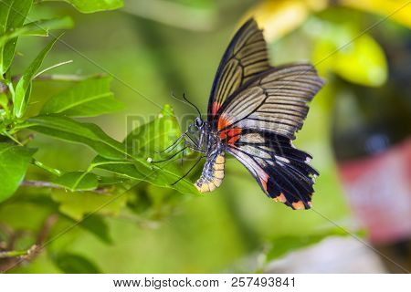 Monarch Butterfly On A Leaf In The Forest.beautiful Butterfly In Nature.