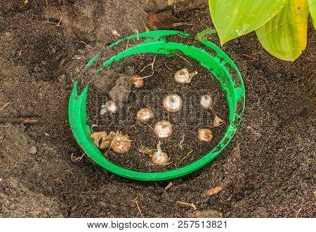 Basket For Planting Bulbous Plants With Crocus Bulbs