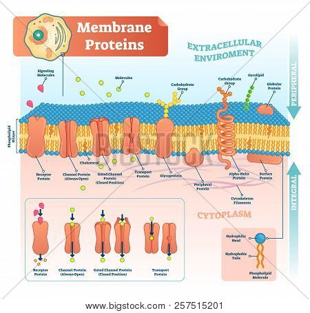 Membrane Proteins Labeled Vector Illustration. Detailed Microscopic Structure Scheme. Anatomical Dia