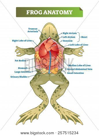 Frog Anatomy Labeled Vector Illustration Scheme. Educational Preparation For Biology, Anatomy Or Zoo