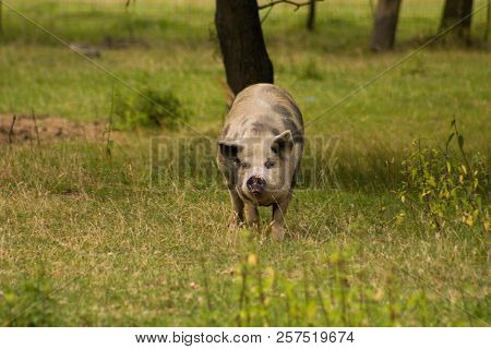 The Kunekune Is A Small Breed Of Domestic Pig From New Zealand.kunekune Are Hairy With A Rotund Buil