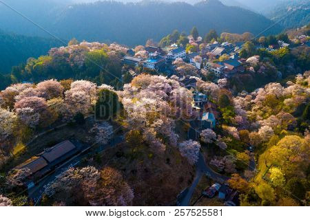 Aerial drone view of Yoshino mountain covered by full blossom cherry trees, Nara province, Japan