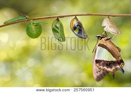 Transformaion Of Common Nawab Butterfly ( Polyura Athamas )  Emerged From Caterpillar And Chrysalis