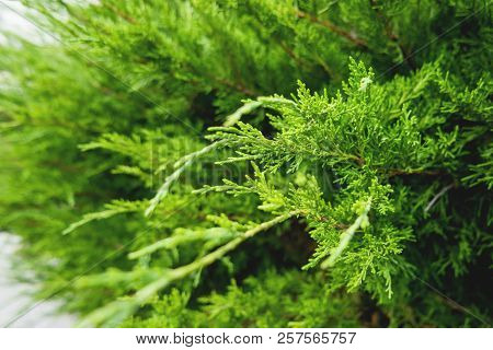Close-up Of The Branches Of Arborvitae. Natural Background With Coniferous Tree.