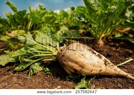 Harvested Sugar Beet Root Extracted From The Ground, Selective Focus