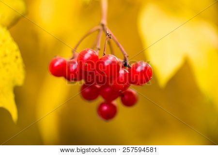 Viburnum, Mountain Ash, Red Fruit On The Tree,