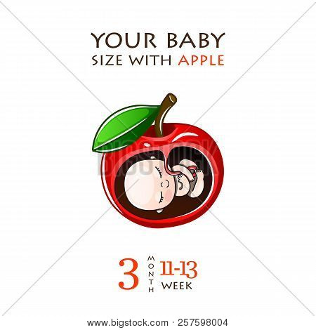 Stages Of Development Of Pregnancy, The Size Of The Embryo For Weeks. Human Fetus Inside The Womb 1
