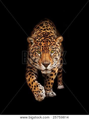 Spotted wild cat - Panther, looking and walking to the camera. Black background, shadows. The same over white in portfolio.