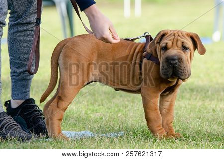 Cute Wrinkly Puppy Standing And Looking At The Camera