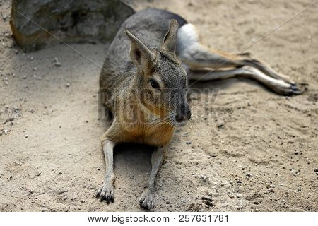 Full Body Of Big Patagonian Cavy Mara (dolichotis Mammal). Photography Of Nature And Wildlife.