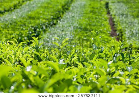 Tea leaves growing on top of shrub knowing as flush. Used to produce best sorts of white, green and black tea. Highland plantation background. Traditional plant cultivating in China, India, Sri Lanka poster