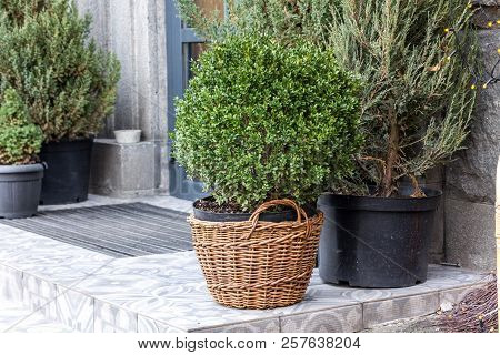 Coniferous Plants At The Entrance. Coniferous Plants On The Street. Plant In The Pot.