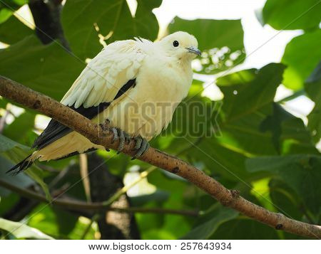 Photography that is showing a pied imperial pigeon (scientific name: Ducula bicolor) poster