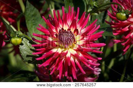 Closeup of a pink red dahlia flower