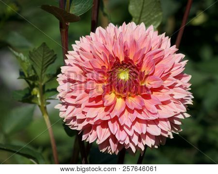 Beautiful Dahlia Flower - Warm Autumn Color Space