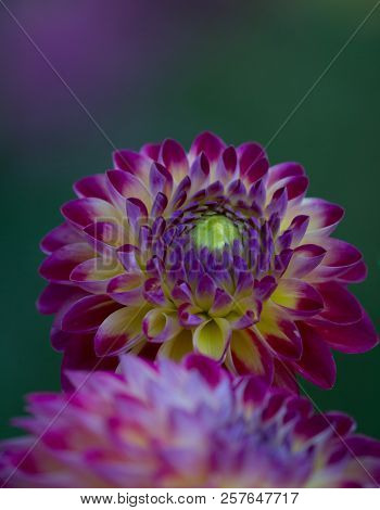 Closeup of a pink purple dahlia flower