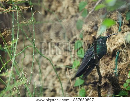 Photography That Is Showing A Green-throated Carib (scientific Name: Eulampis Holosericeus)
