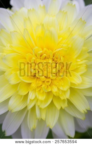 Closeup Of A Yellow White Dahlia Flower