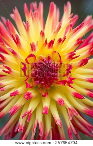 Closeup of a yellow orange red dahlia flower