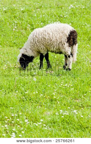 lamb on meadow, Bosnia and Hercegovina